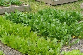 potager-juin-2014-l%c3%a9gumes-feuilles1