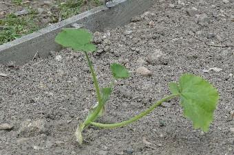 potager-juin-2014-plants-de-courgettes1